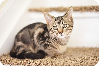 Domestic Shorthair Kitten for adoption in Xenia, Ohio - Lily