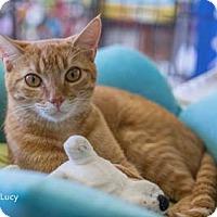 Adopt A Pet :: Lucy - Merrifield, VA