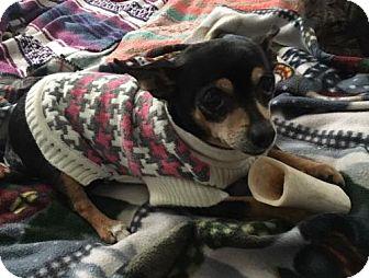 Chihuahua Dog for adoption in Livonia, Michigan - Baby Girl
