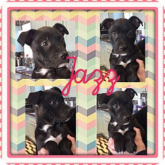 Boston Terrier/Beagle Mix Puppy for adoption in Brattleboro, Vermont - JAZZ
