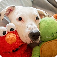 American Bulldog/Boxer Mix Dog for adoption in Durham, North Carolina - Dotty