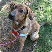 Adopt A Pet :: Darcy - Mebane, NC