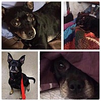 Adopt A Pet :: DOBBY - Lawton, OK