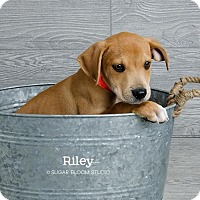 Adopt A Pet :: Riley - Denver, CO
