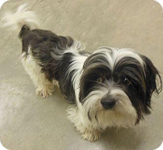 Shih Tzu Dog for adoption in Phoenix, Arizona - Finley