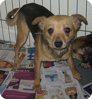 Chihuahua/Terrier (Unknown Type, Small) Mix Dog for adoption in Prole, Iowa - Clark