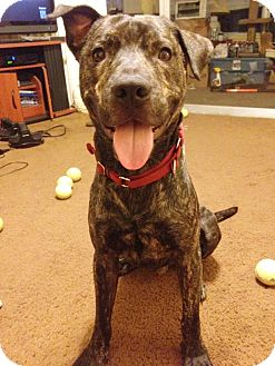 American Pit Bull Terrier/Labrador Retriever Mix Dog for adoption in Holmes Beach, Florida - Babe Ruth