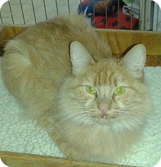 Domestic Mediumhair Cat for adoption in Whittier, California - Cleopatra