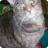 Domestic Shorthair Cat for adoption in Morganton, North Carolina - Ashlyn