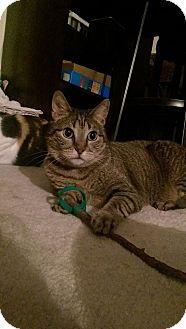 Abyssinian Cat for adoption in San Clemente, California - Maya