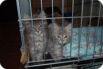 Domestic Shorthair Kitten for adoption in Carlisle, Pennsylvania - Peachy