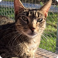 Domestic Shorthair Cat for adoption in Porter, Texas - Rosa