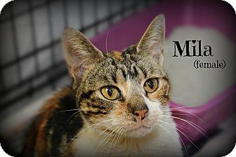 Domestic Shorthair Cat for adoption in Glen Mills, Pennsylvania - Mila