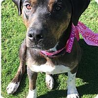 Adopt A Pet :: Simone - Scottsdale, AZ