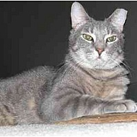 Domestic Shorthair Cat for adoption in Garland, Texas - Hyde