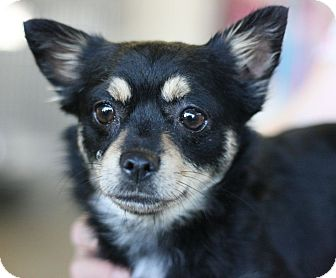 Terrier (Unknown Type, Small) Mix Dog for adoption in Canoga Park, California - Mary Jane