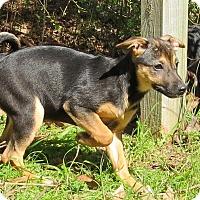 Adopt A Pet :: Sunny - Manchester, NH