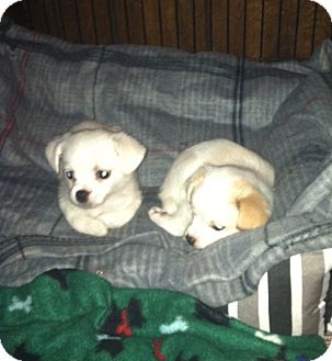 Japanese Chin/Chihuahua Mix Puppy for adoption in Clarksville, Tennessee - Noel & Holly