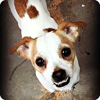 Adopt A Pet :: Louie - Tijeras, NM