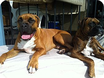 Boxer/Mastiff Mix Dog for adoption in Lake Forest, California - Rocco