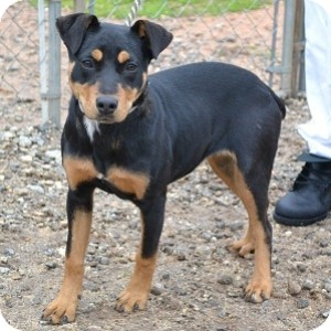 Rottweiler Mix Puppy for adoption in Athens, Georgia - Janna