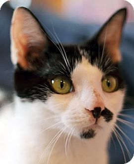 Domestic Shorthair Cat for adoption in Alexandria, Virginia - Mercy
