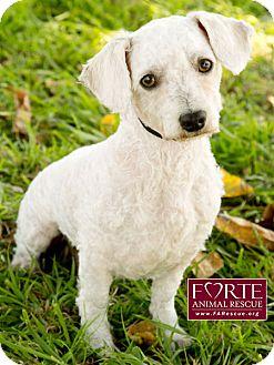 Poodle (Miniature)/Dachshund Mix Dog for adoption in Marina del Rey, California - Tito