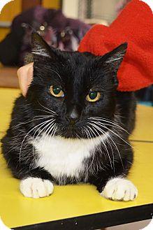 Domestic Shorthair Cat for adoption in Lincoln, Nebraska - Felix