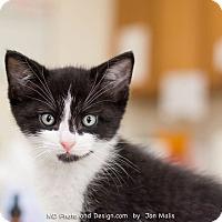 Adopt A Pet :: Nermal - Fountain Hills, AZ