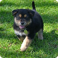 Adopt A Pet :: Carson - Knoxville, TN