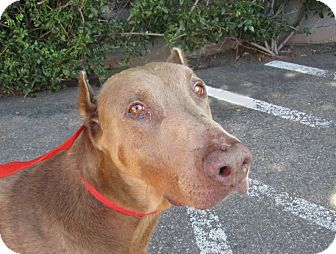 Doberman Pinscher Dog for adoption in Fillmore, California - Chevy