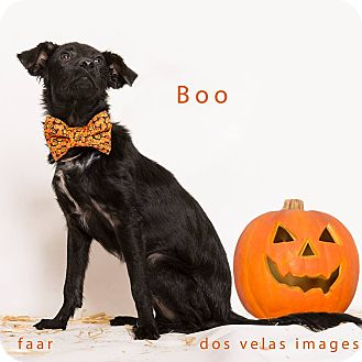 Spaniel (Unknown Type) Mix Puppy for adoption in Riverside, California - Boo