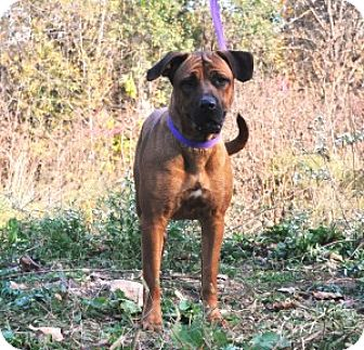 Coonhound Mix Dog for adoption in Chalfont, Pennsylvania - Scarlett