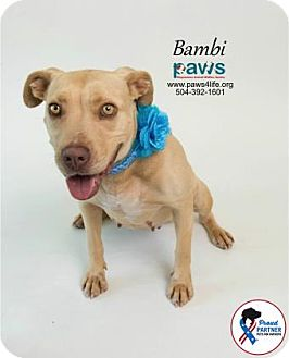 Terrier (Unknown Type, Medium)/American Pit Bull Terrier Mix Dog for adoption in Belle Chasse, Louisiana - Bambi