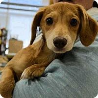 Adopt A Pet :: Verner - Alpharetta, GA