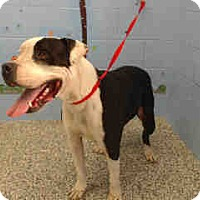 Mastiff Dog for adoption in San Bernardino, California - URGENT ON 2/22  San Bernardino