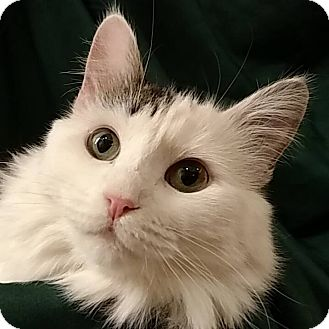 Domestic Longhair Cat for adoption in Tega Cay, South Carolina - Bessie