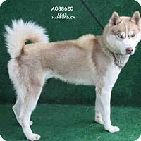 Adopt A Pet :: KAZUKI - Hanford, CA