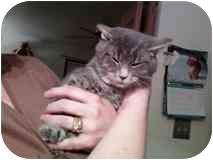 Domestic Shorthair Kitten for adoption in Delmont, Pennsylvania - Teddy