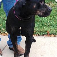 Adopt A Pet :: CJ - Oswego, IL