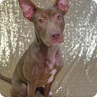 Adopt A Pet :: Jewel - Muskegon, MI
