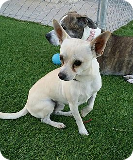 Chihuahua Mix Dog for adoption in Las Vegas, Nevada - Ricky Nelson