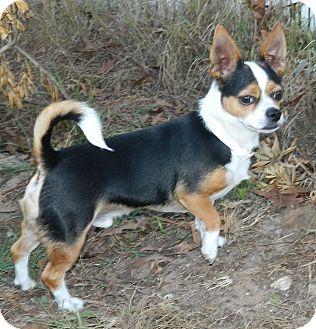 Chihuahua Mix Dog for adoption in Umatilla, Florida - Lucky