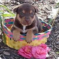 Adopt A Pet :: Gemini - Raleigh, NC