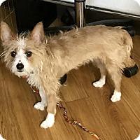 Adopt A Pet :: Brady - Las Vegas, NV
