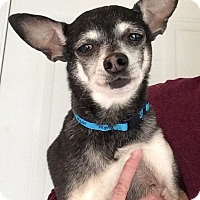 Chihuahua Mix Dog for adoption in Huntsville, Alabama - Dixon