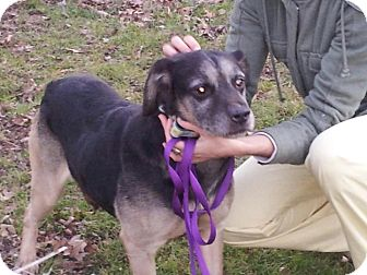 Shepherd (Unknown Type) Mix Dog for adoption in Quentin, Pennsylvania - Ollie Needs a Foster Home!