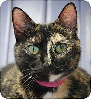 Domestic Shorthair Cat for adoption in Huntley, Illinois - Charm