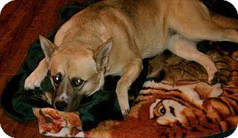 Akita/German Shepherd Dog Mix Dog for adoption in Hayward, California - Bella