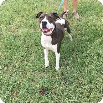 Hound (Unknown Type)/American Pit Bull Terrier Mix Dog for adoption in North Creek, New York - Champ - sweet boy